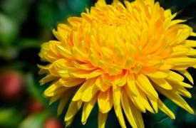 Королева осені - хризантема